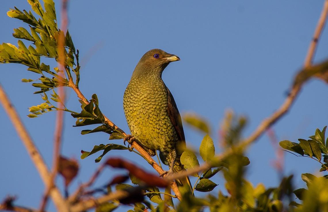 satin-bowerbird-945465_1280